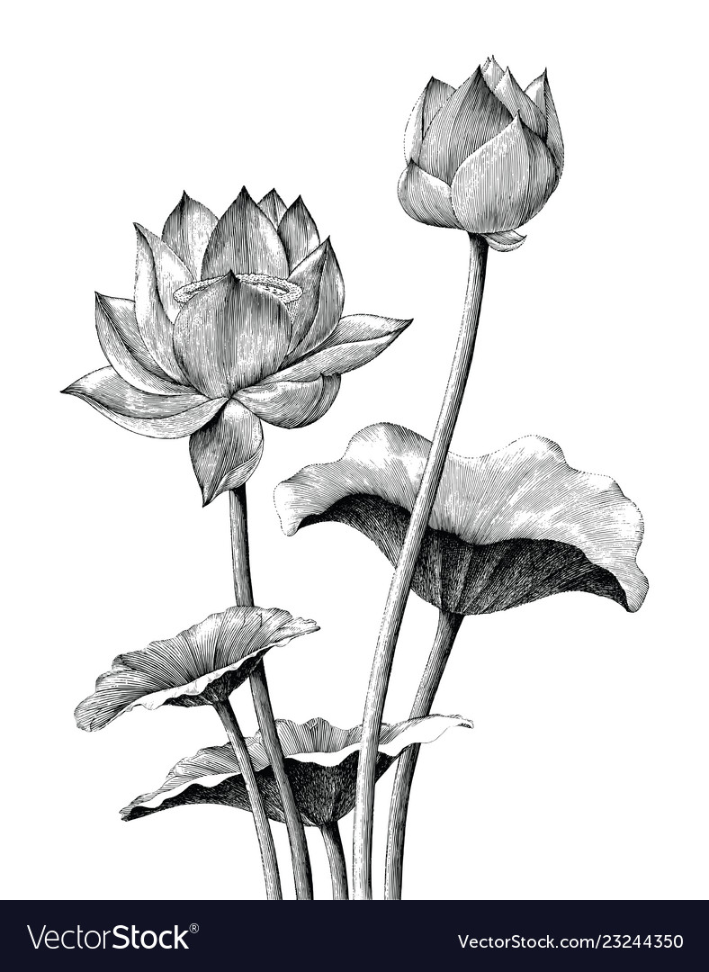 Lotus Flower Hand Drawing Vintage Engraving Style Vector Image