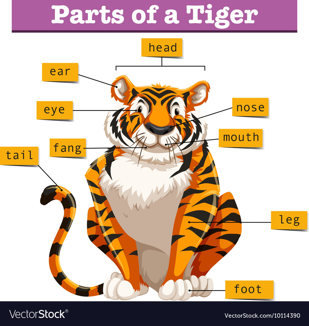 Diagram Of A Tiger Guide And Troubleshooting Wiring Shark Showing Parts Royalty Free Vector Image Rh Vectorstock Com