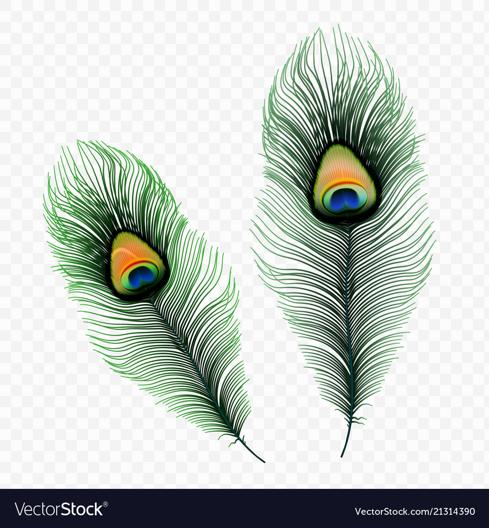 Stock peacock feather isolated