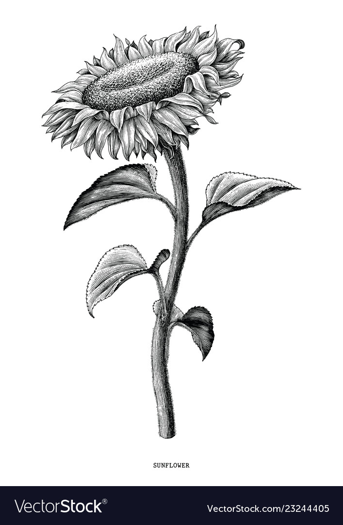 Sunflower hand drawing black and white vintage