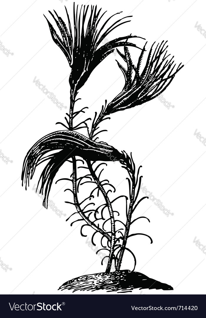 Sea lily crinoid vector image