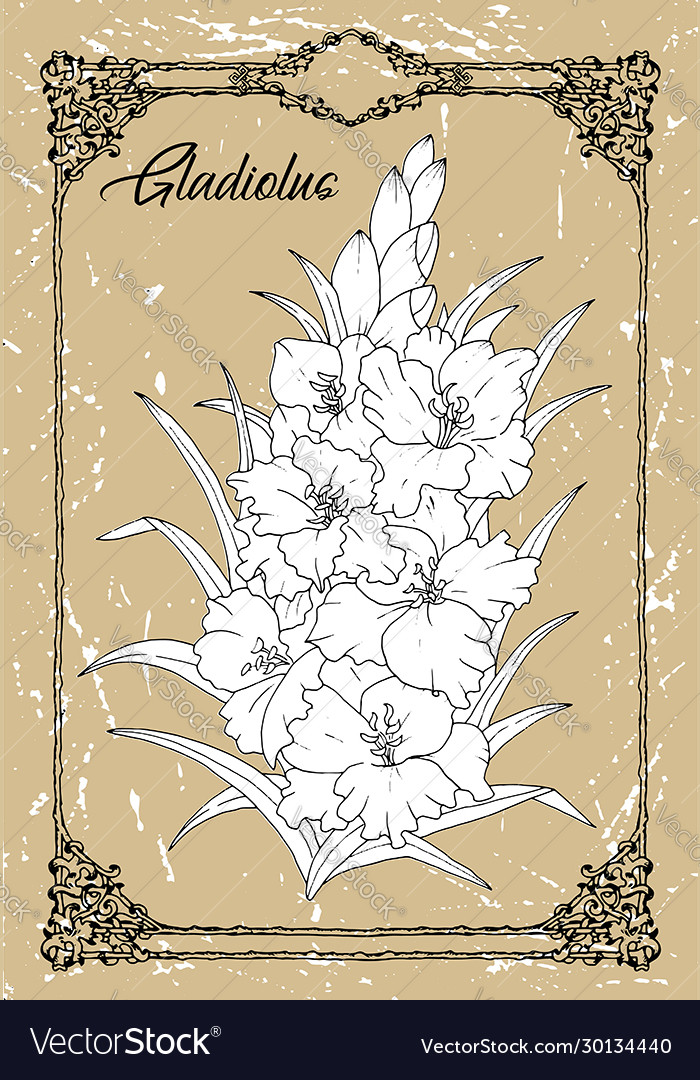 Drawing gladiolus