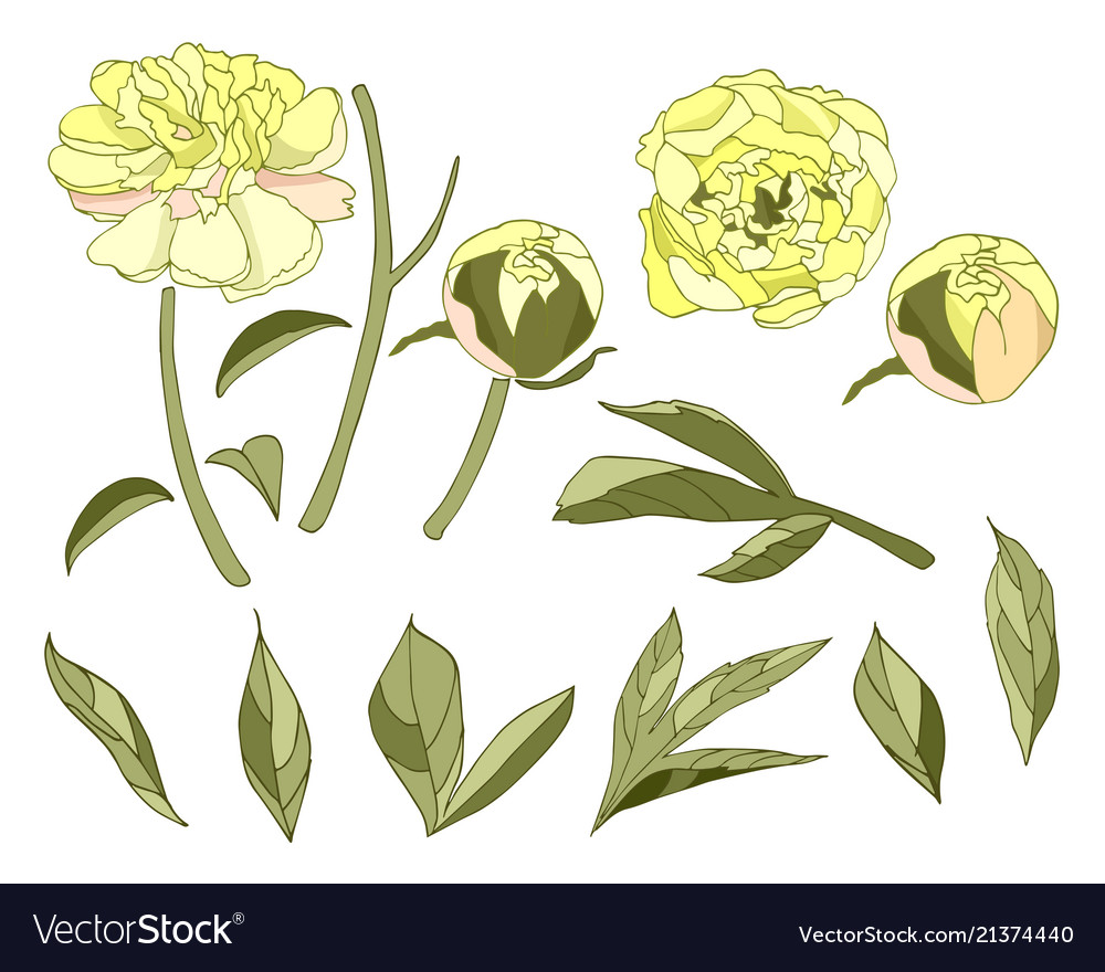 Yellow peony flower elements set