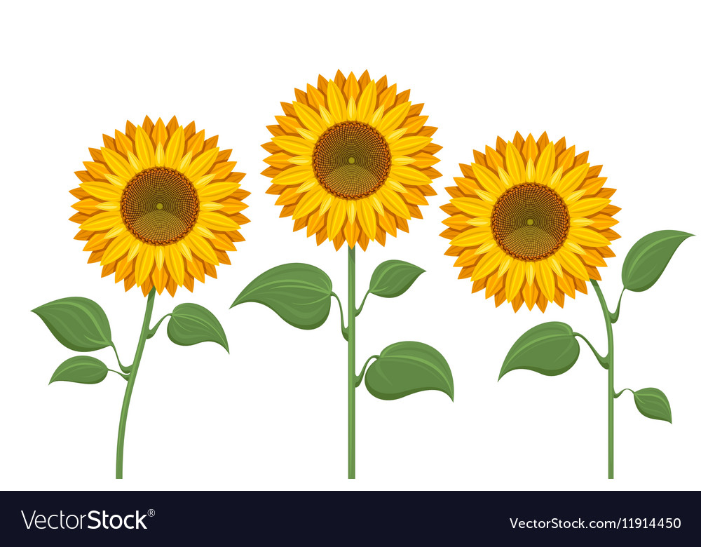 Yellow sun flowers on white background sunflowers vector image mightylinksfo