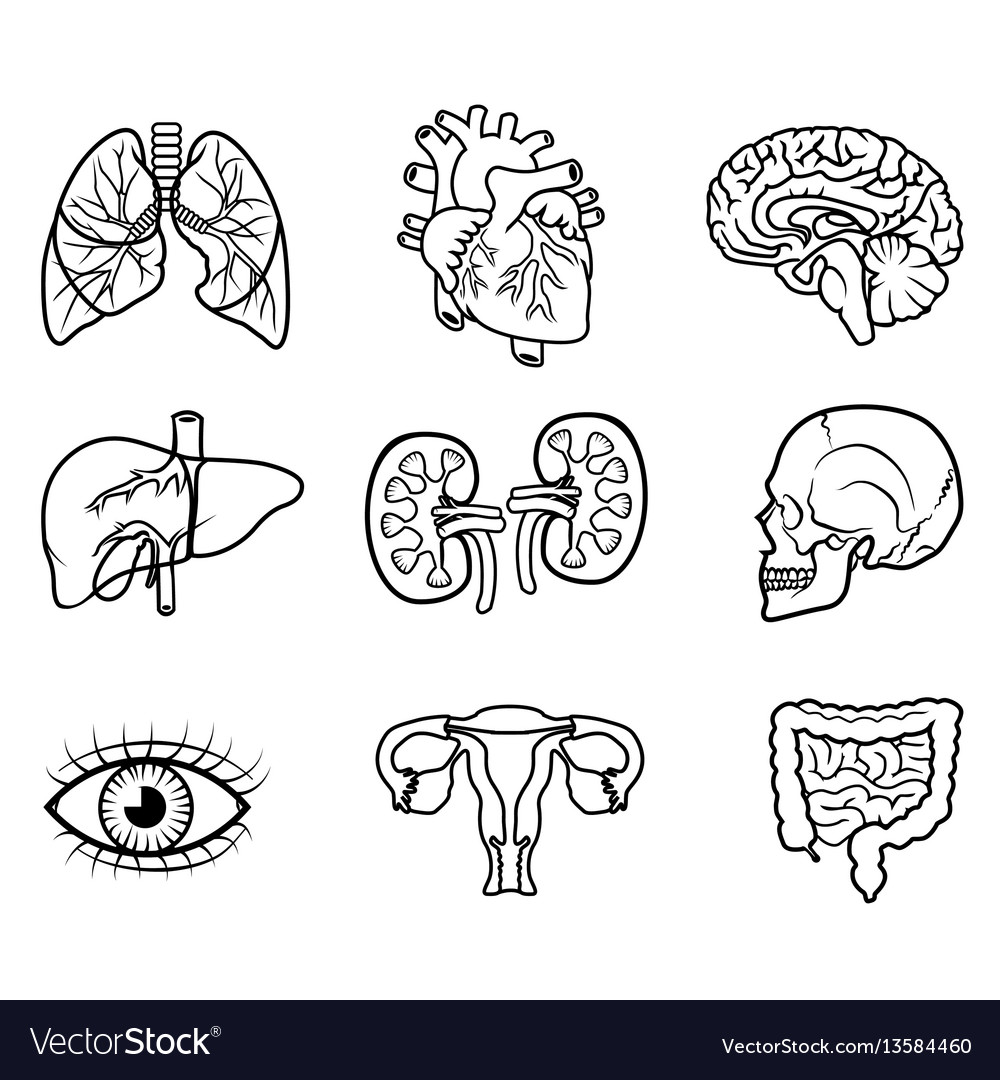 Human organs isolated vector image