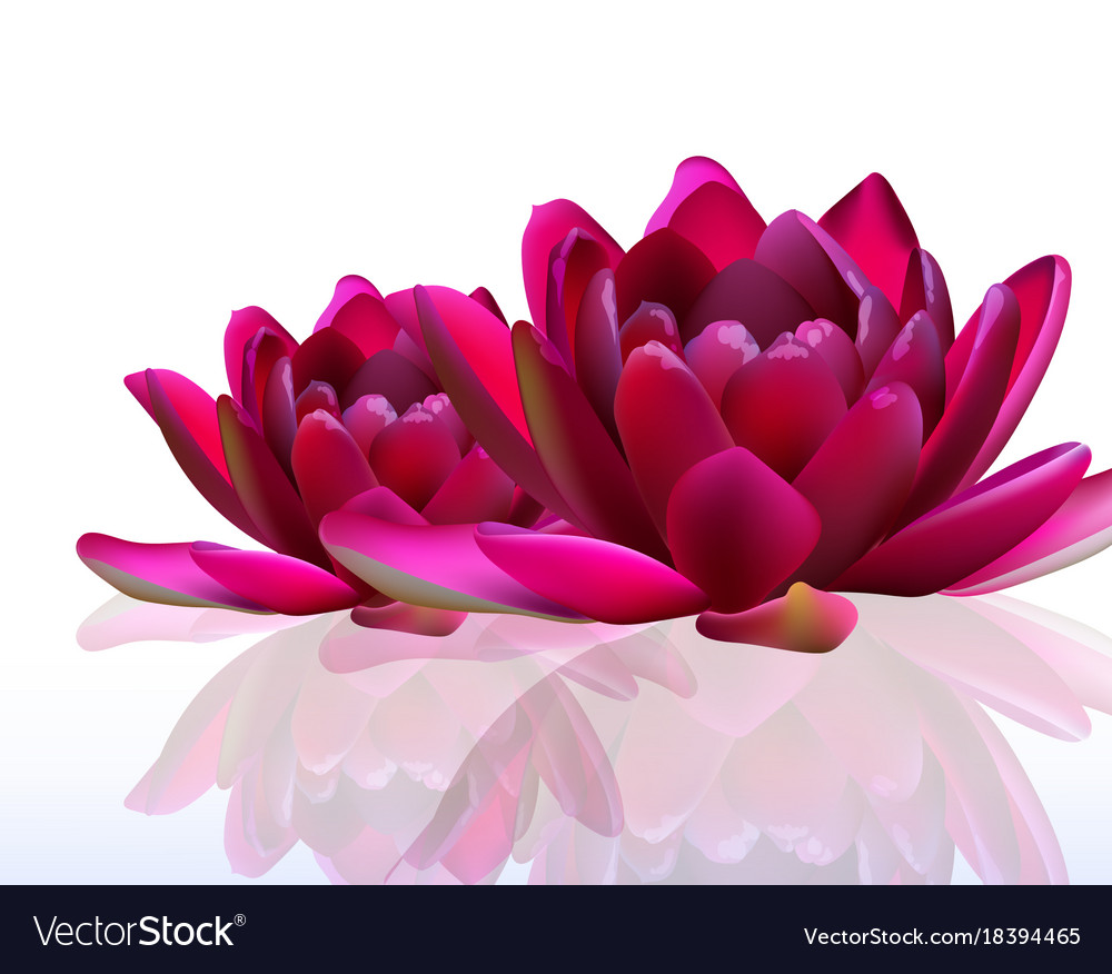 Water lily flowers isolated on white royalty free vector water lily flowers isolated on white vector image izmirmasajfo
