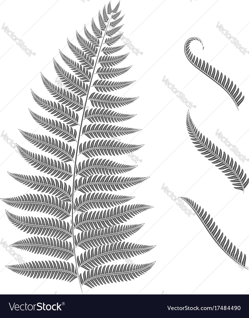 Black and white image of a fern leaf