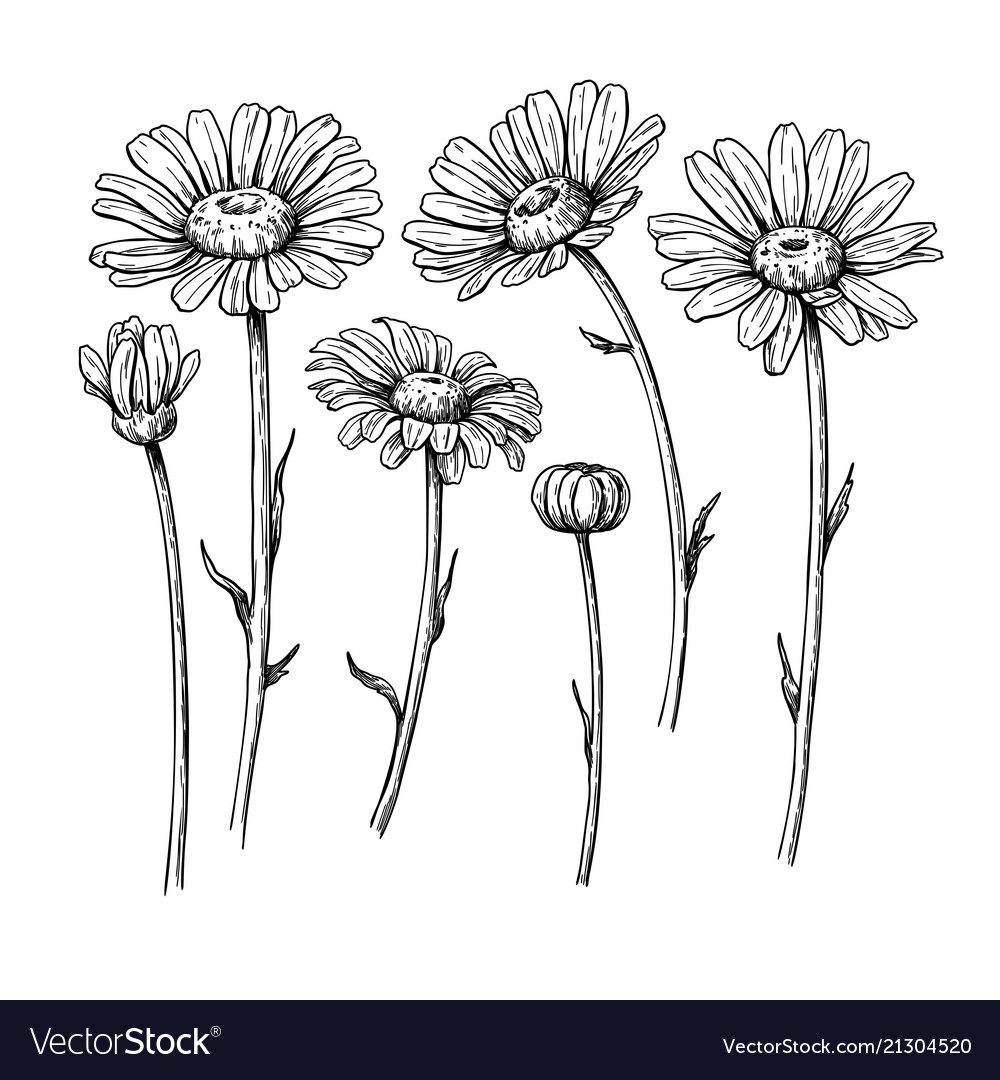 Daisy flower drawing hand drawn engraved vector image izmirmasajfo