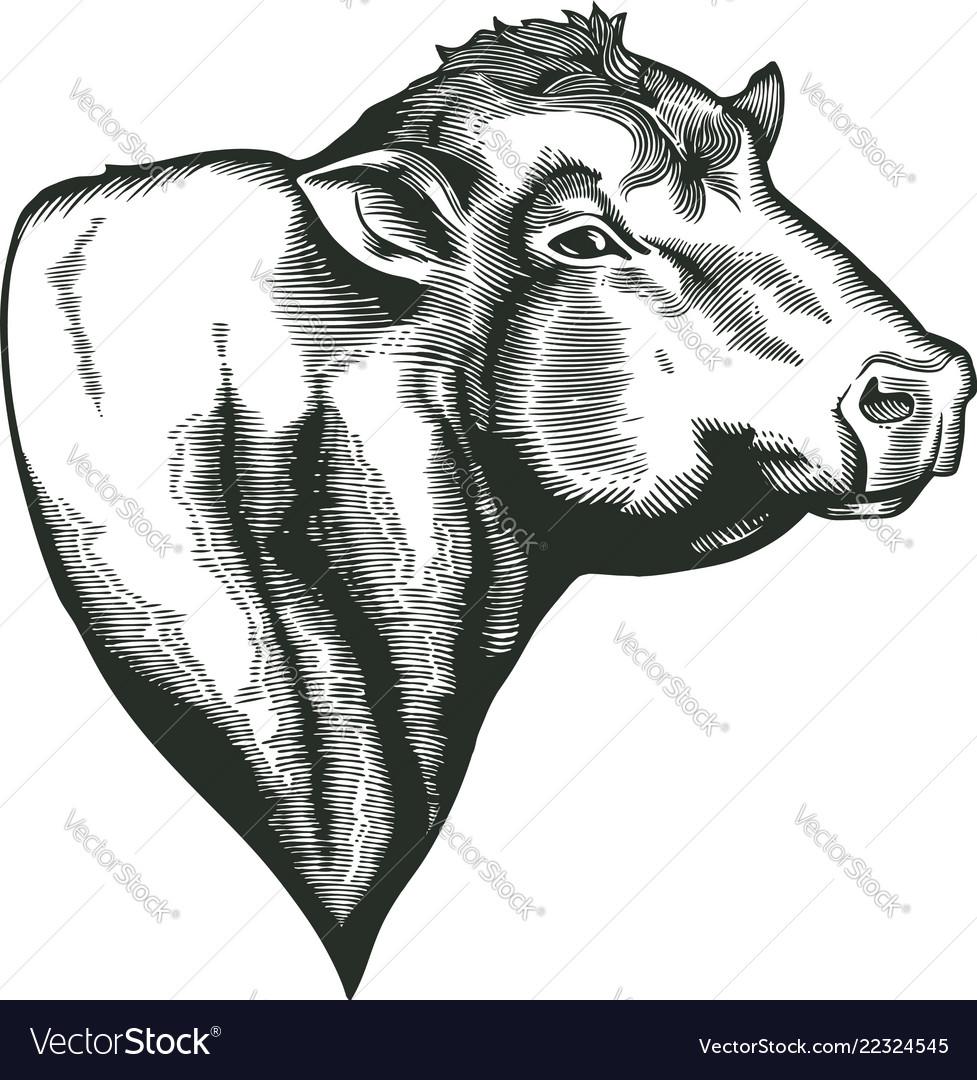 Head of bull of dangus breed drawn in vintage