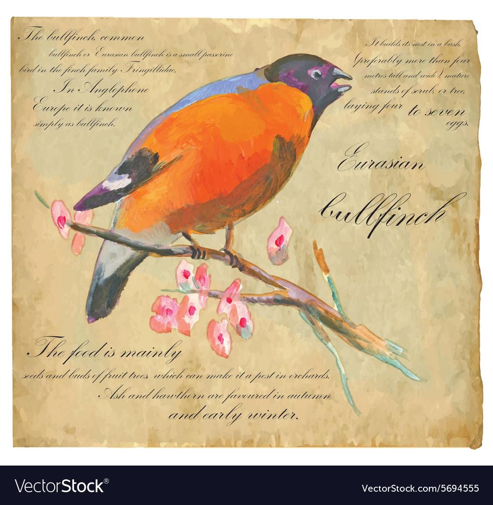 Eurasian Bullfinch - An hand painted vector image