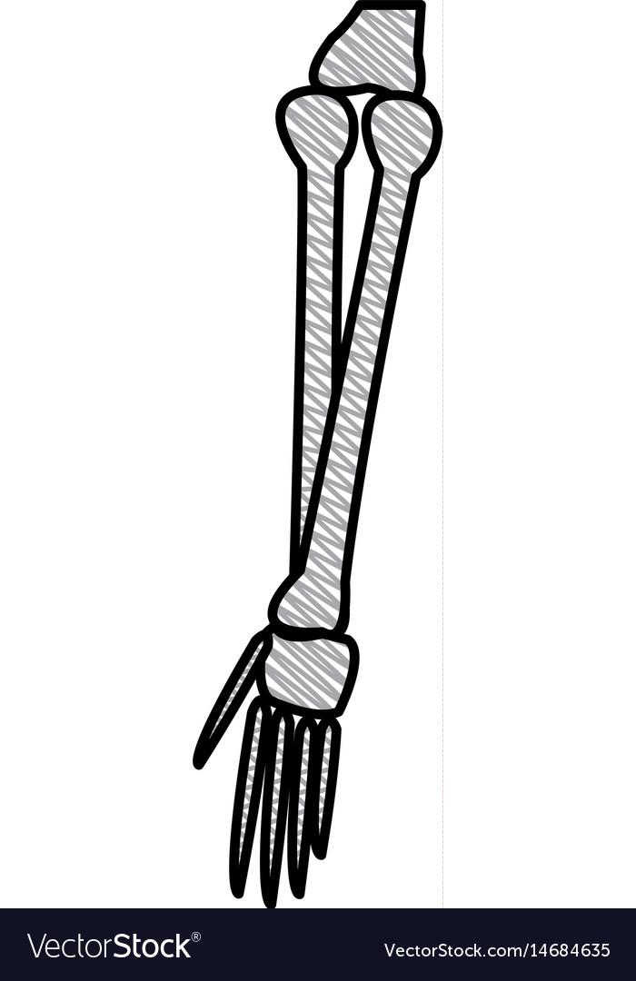 Drawing bone arm human anatomy healthy Royalty Free Vector