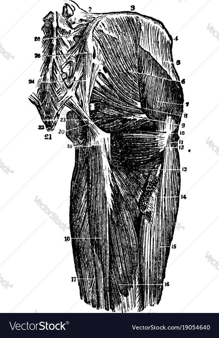 Deep Muscles Of The Hip Joint Vintage Royalty Free Vector