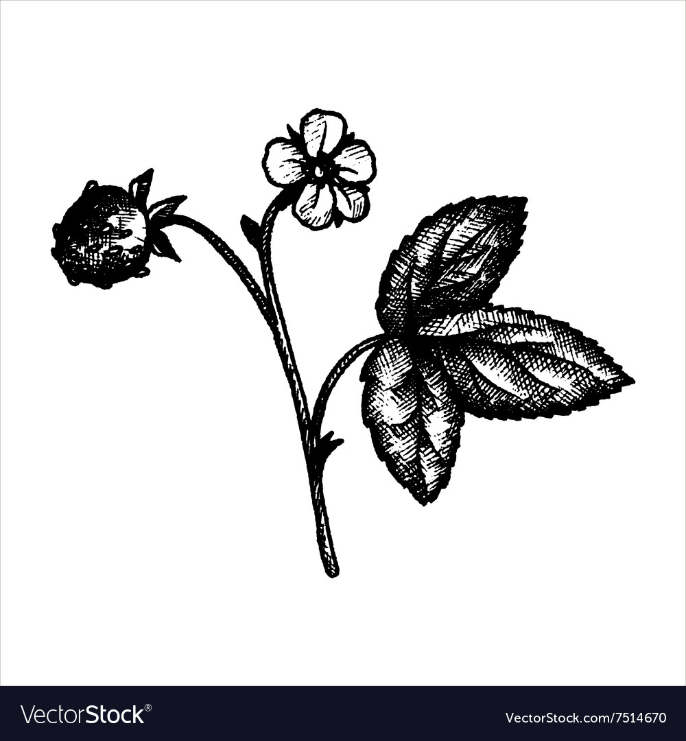 Hand drawn strawberry plant