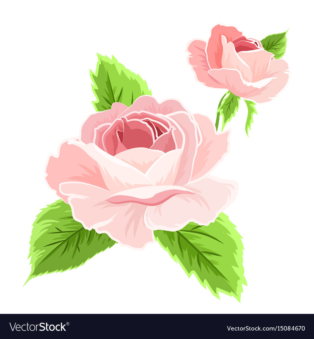 Isolated pink rose flowers detailed drawing vector image mightylinksfo
