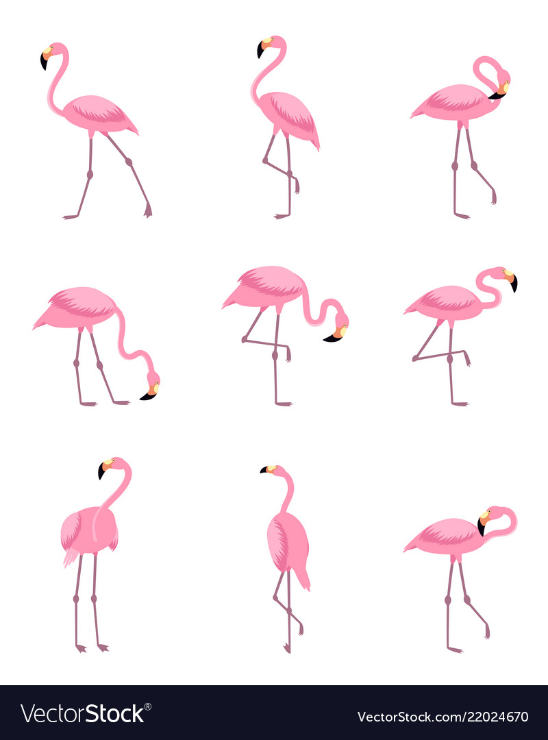 Set isolated tropical greater flamingo