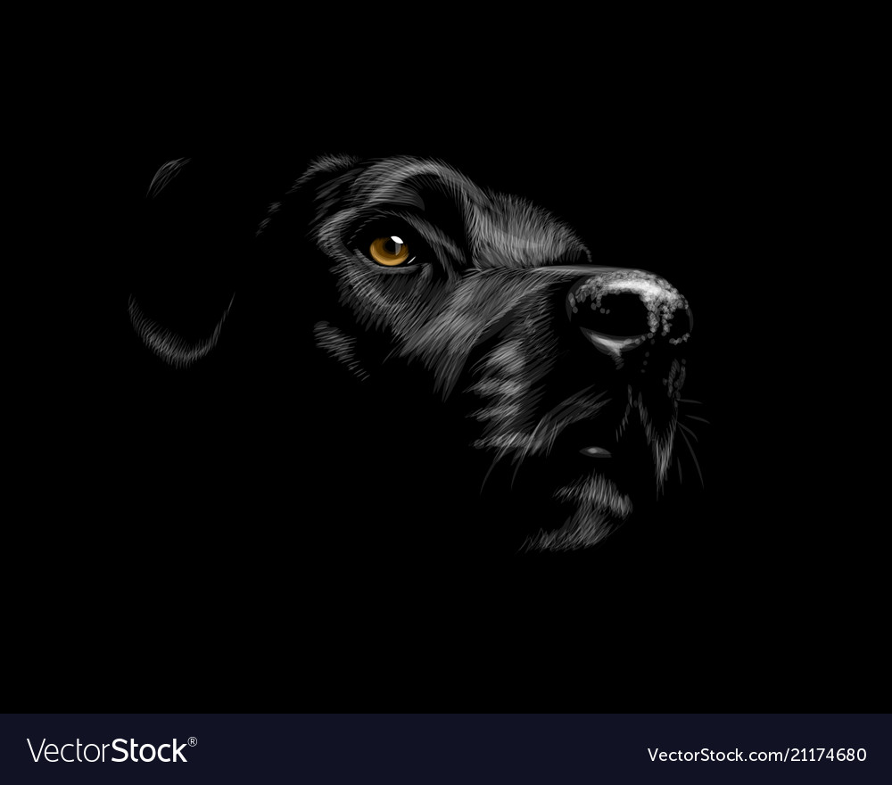 Black labrador retriever vector image