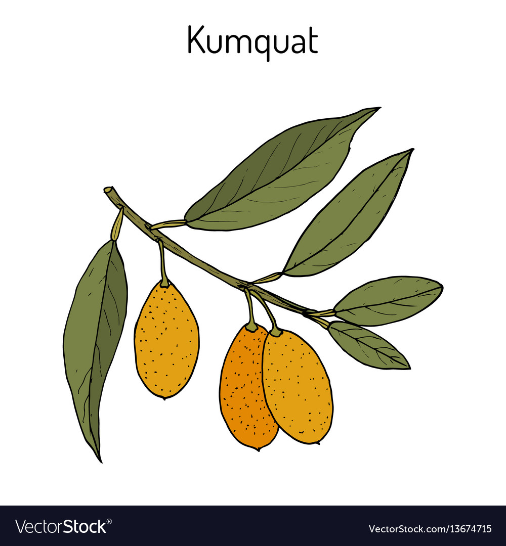 kumquat citrus japonica branch royalty free vector image