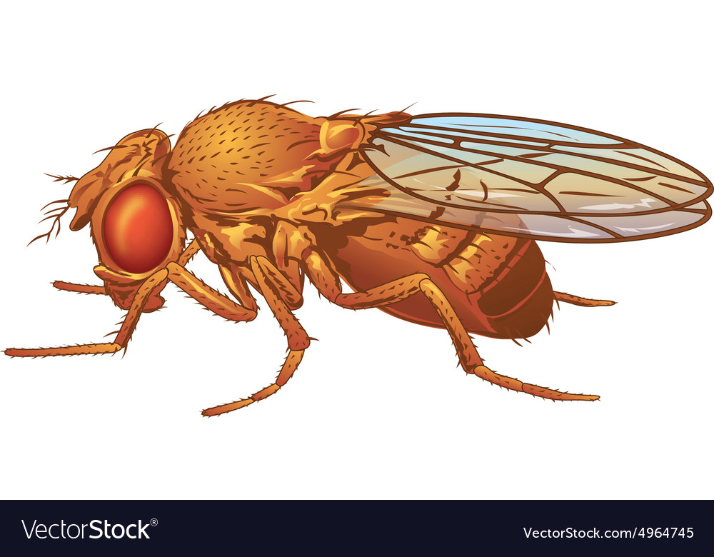 Drosophila melanogaster Fruit Fly vector image