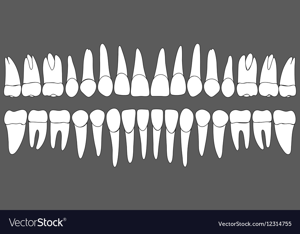 Set of human teeth dental template Royalty Free Vector Image