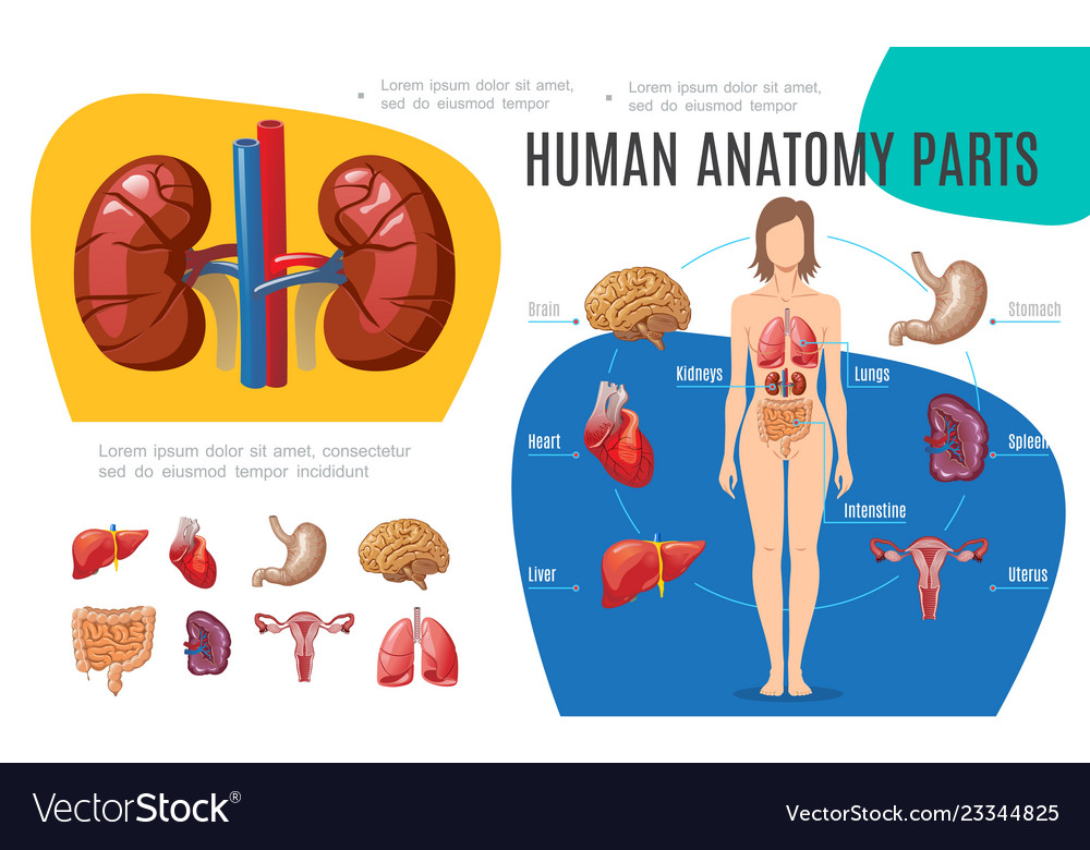 Human anatomy infographic template