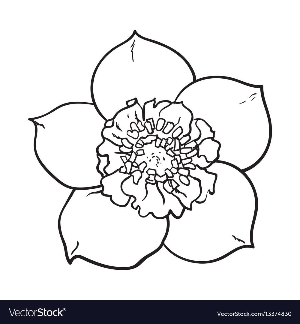 Hellebore christmas rose single flower top view vector image mightylinksfo