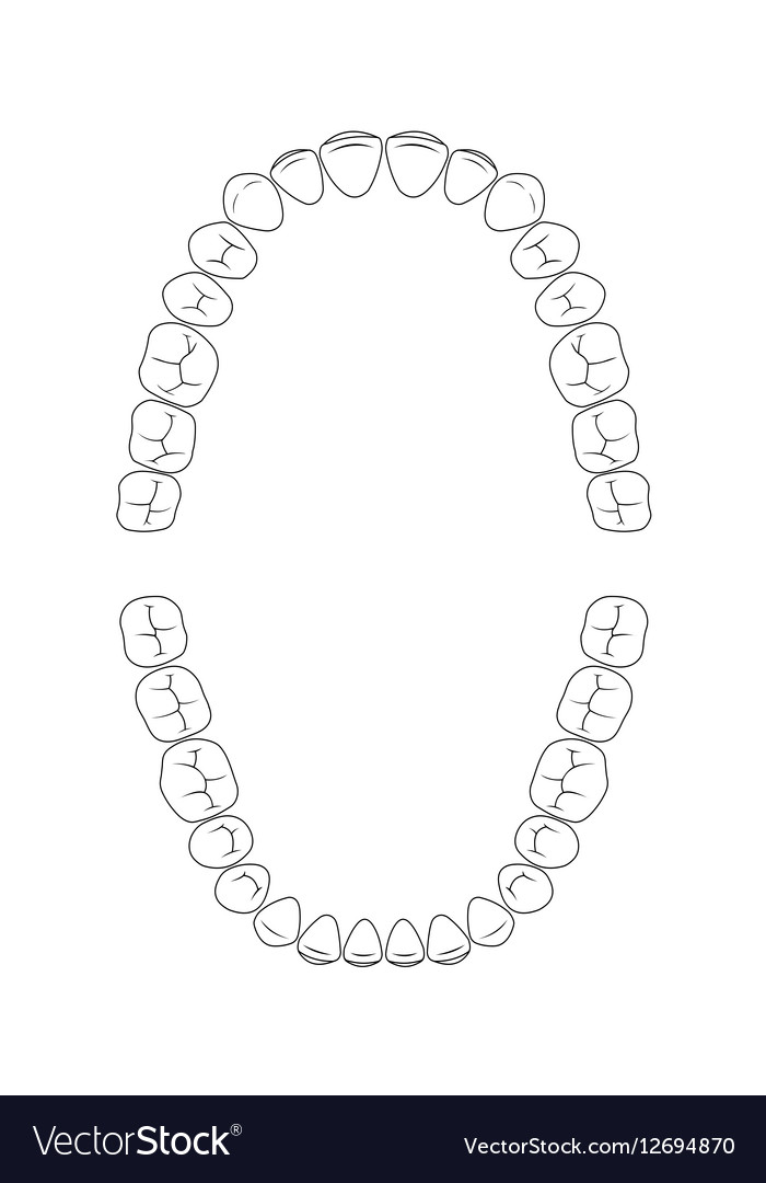 Teeth chart tooth royalty free vector image vectorstock