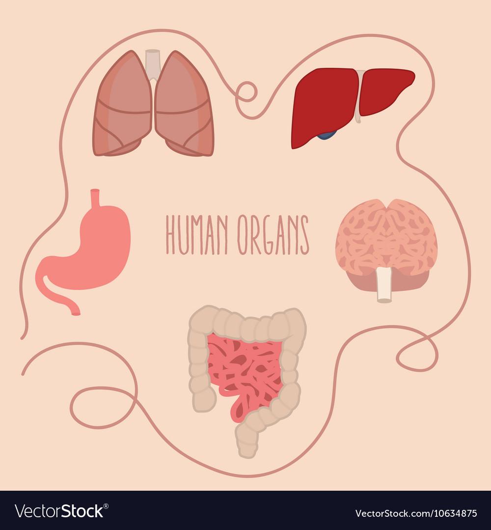 Human organs parts lung intestine