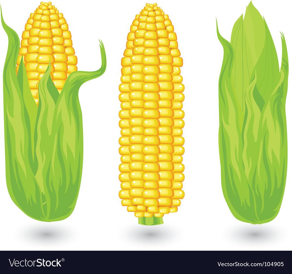 ears of ripe corn royalty free vector image vectorstock