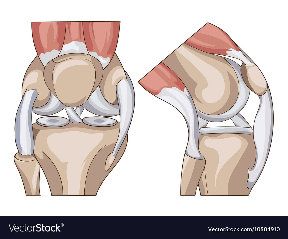 Anatomy Structure Knee Joint Royalty Free Vector Image