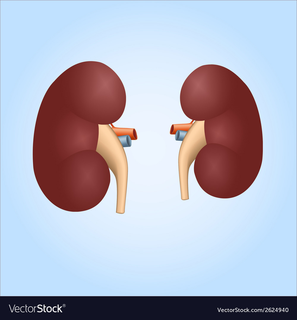 Realistic Of Human Kidneys Royalty Free Vector Image