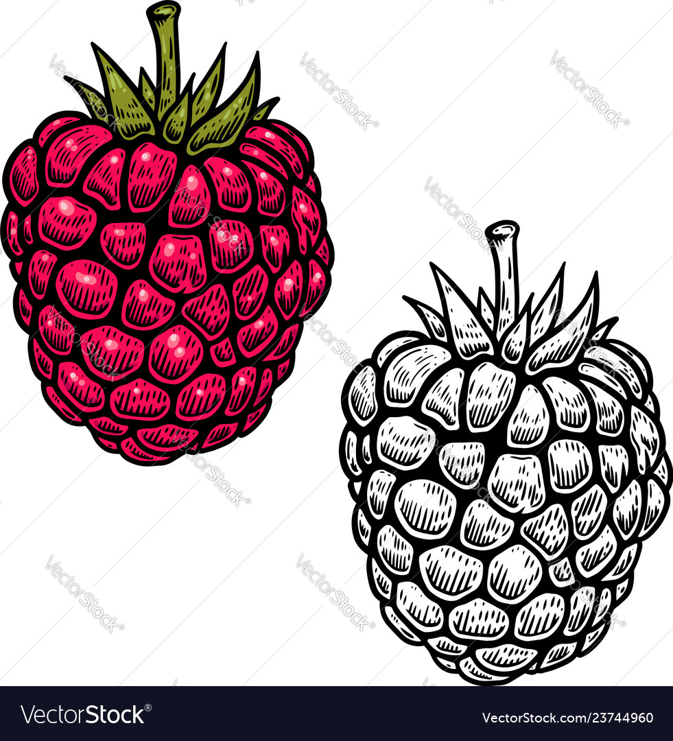 Raspberry in engraving style on white background