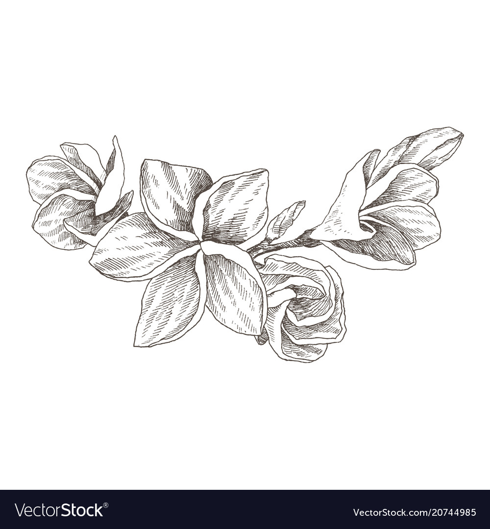 253b3e828ae60 Frangipani, Plumeria & Sketch Vector Images (50)