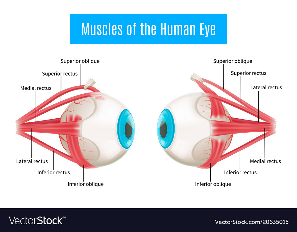 Human Eye Anatomy Images Human Internal Organs Diagram