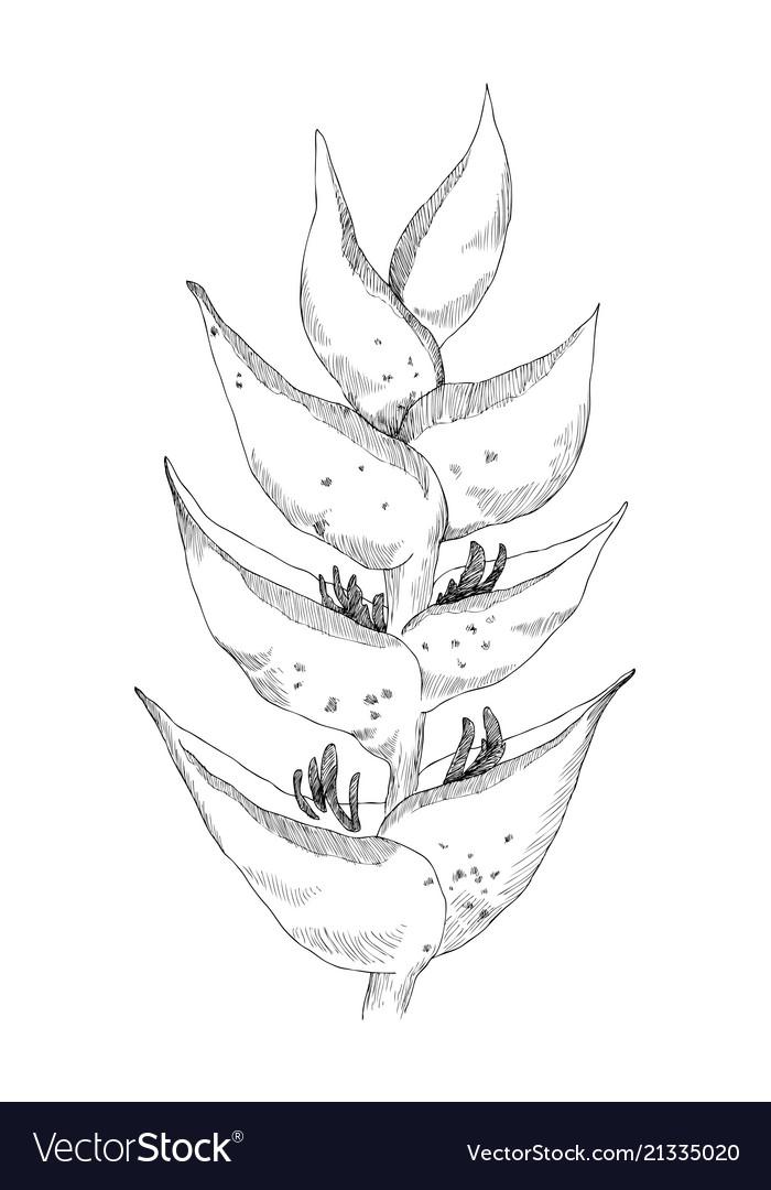 Calathea tropical plant sketch exotic