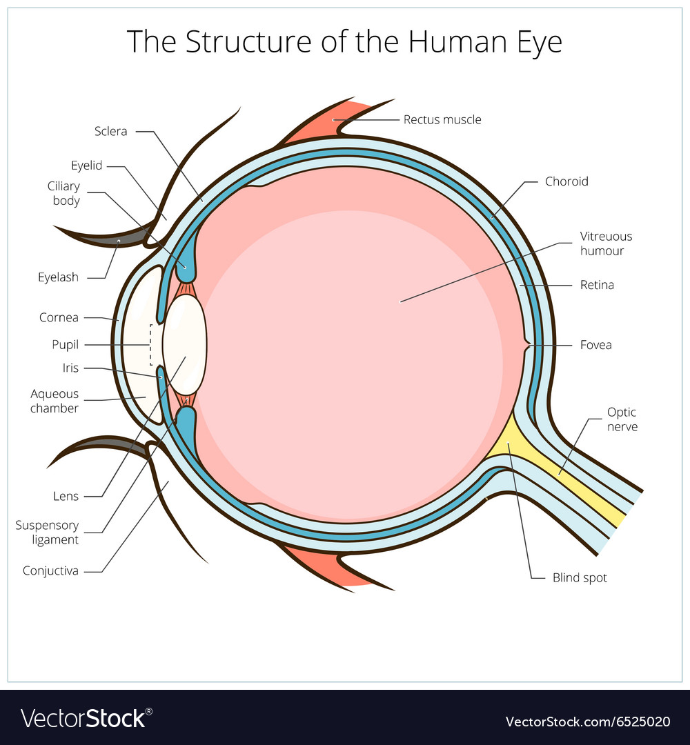 Human eye structure scheme Royalty Free Vector Image