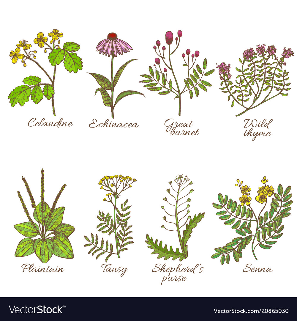 Colored set of medicinal plants in hand-drawn