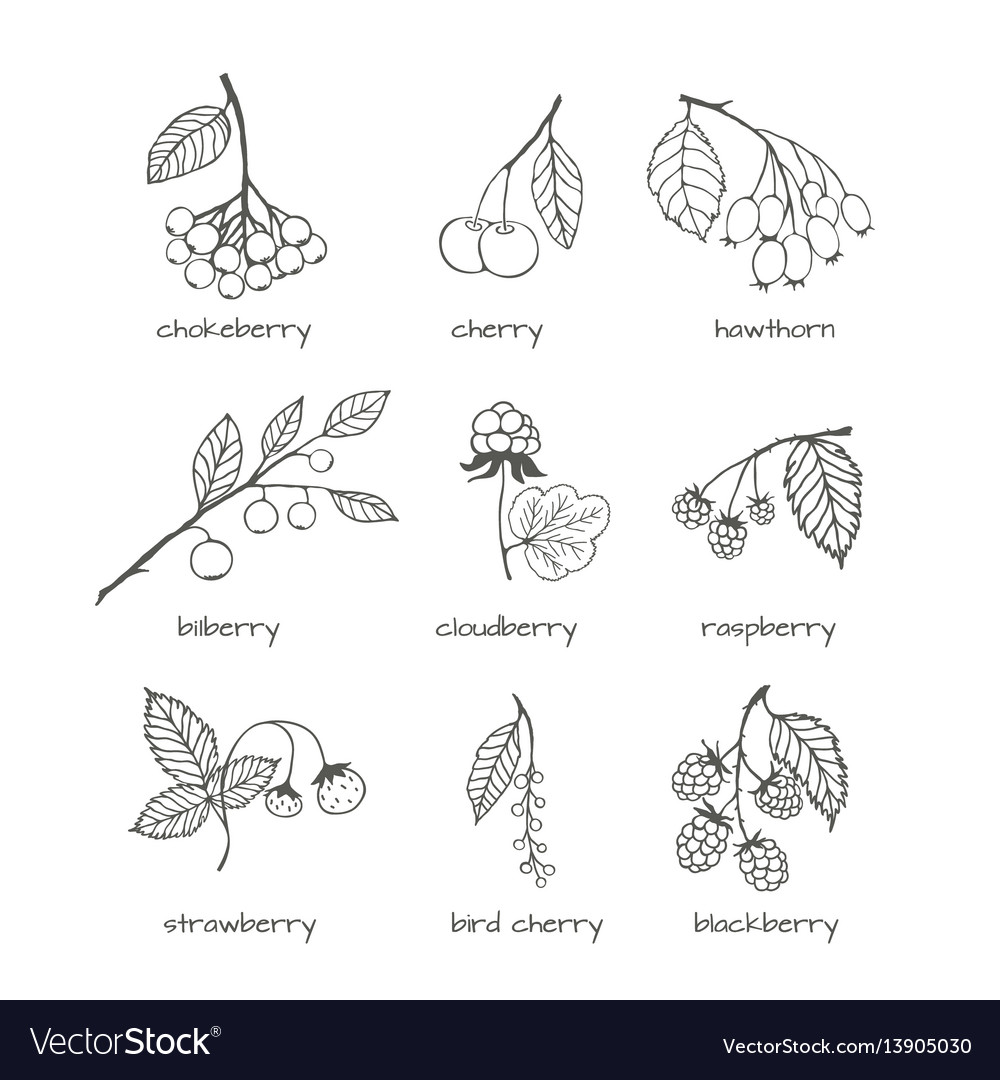 Set of garden and wild hand-drawn sketches berries vector image