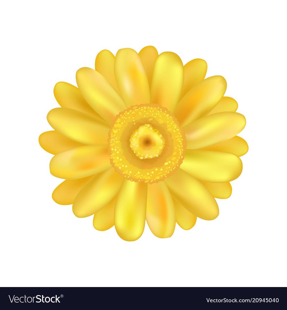 Yellow zinnia daisy flower