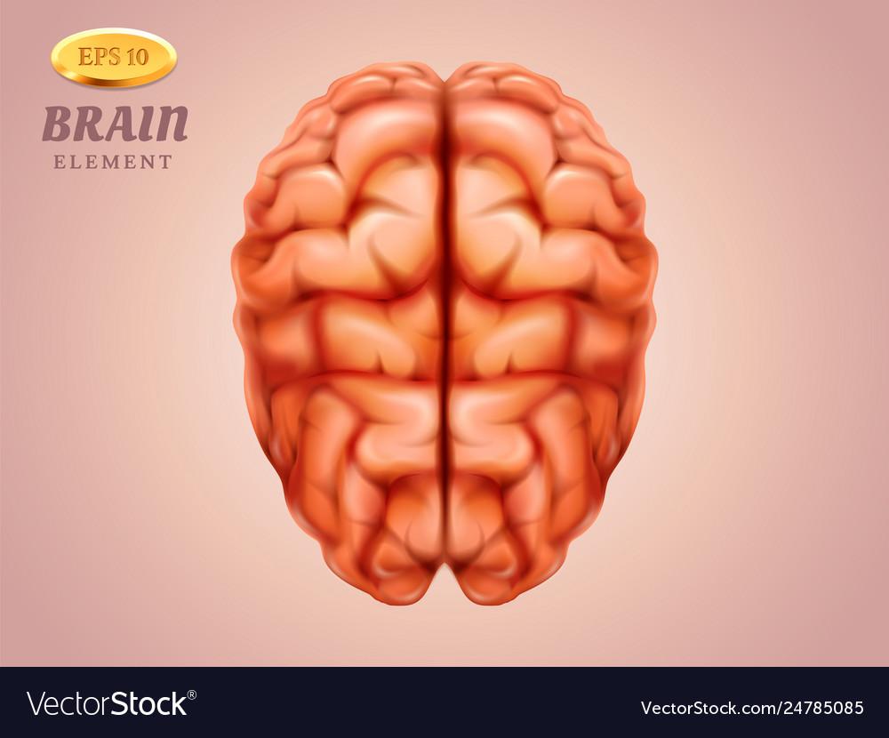 Top view on brain human mind medicine anatomy