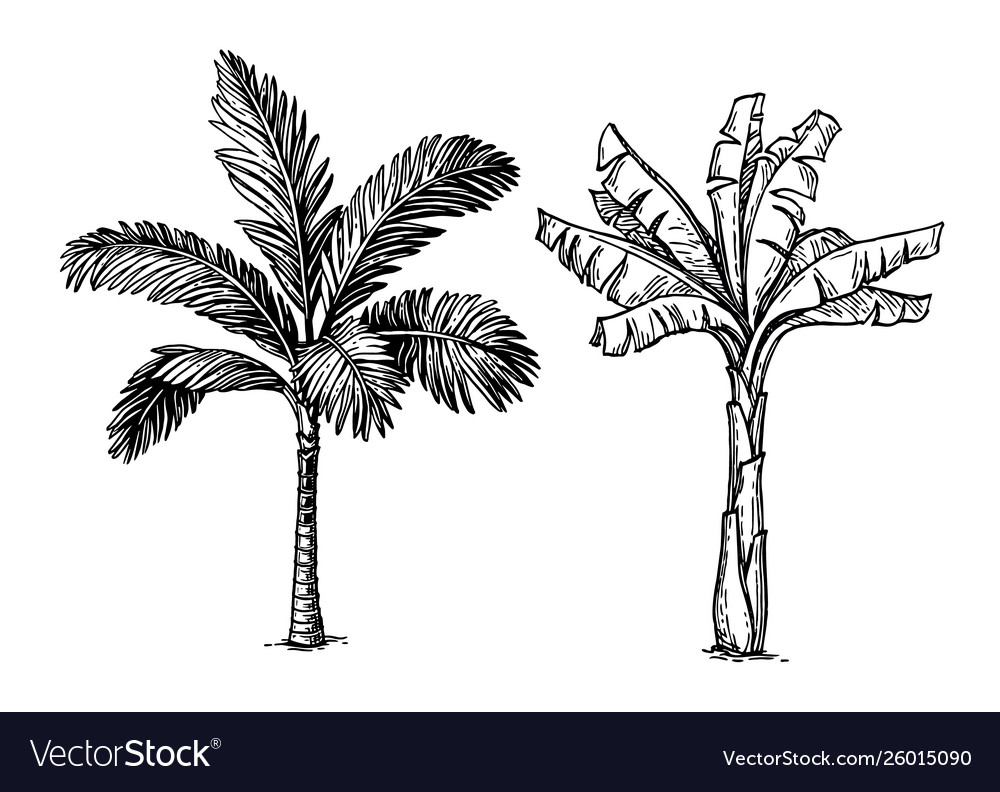 Ink sketch palm trees