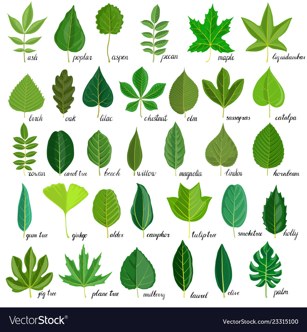 Set Of Tree Leaves Royalty Free Vector Image Vectorstock
