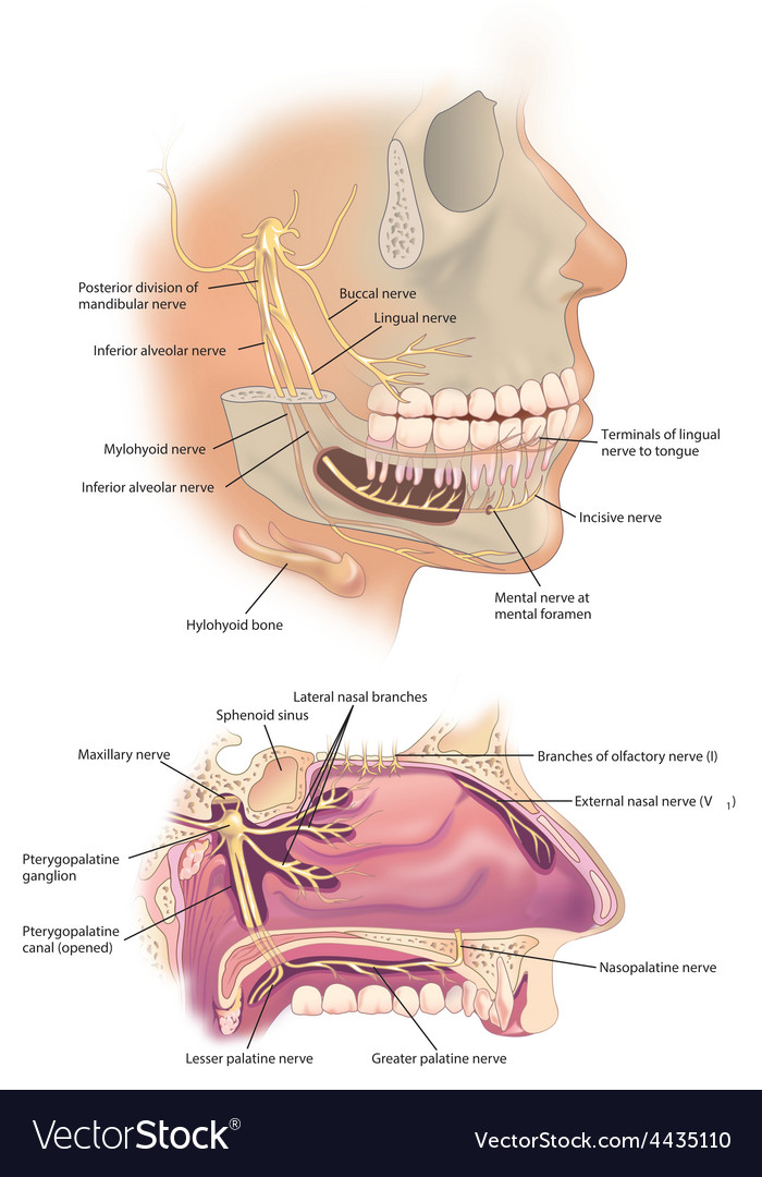 Facial Nerves Royalty Free Vector Image Vectorstock