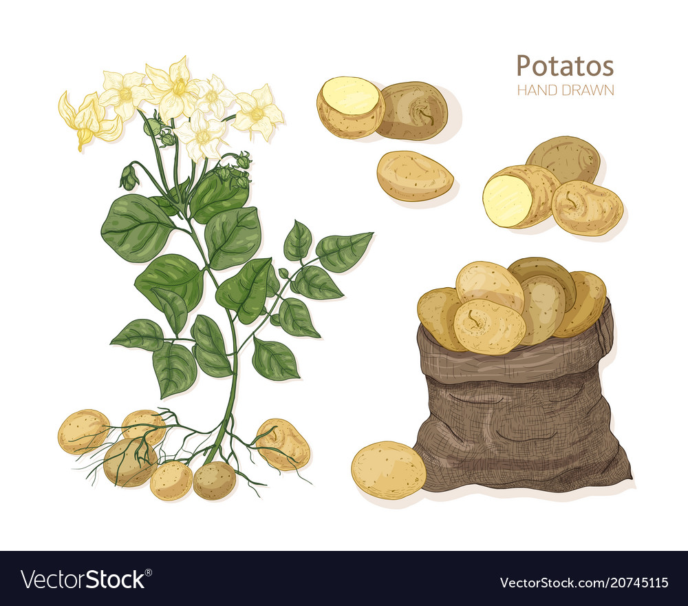 Detailed botanical drawings of potato plant with