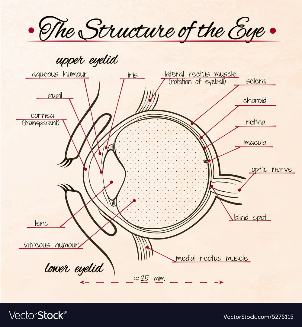 Structure eye sepia fon vector image