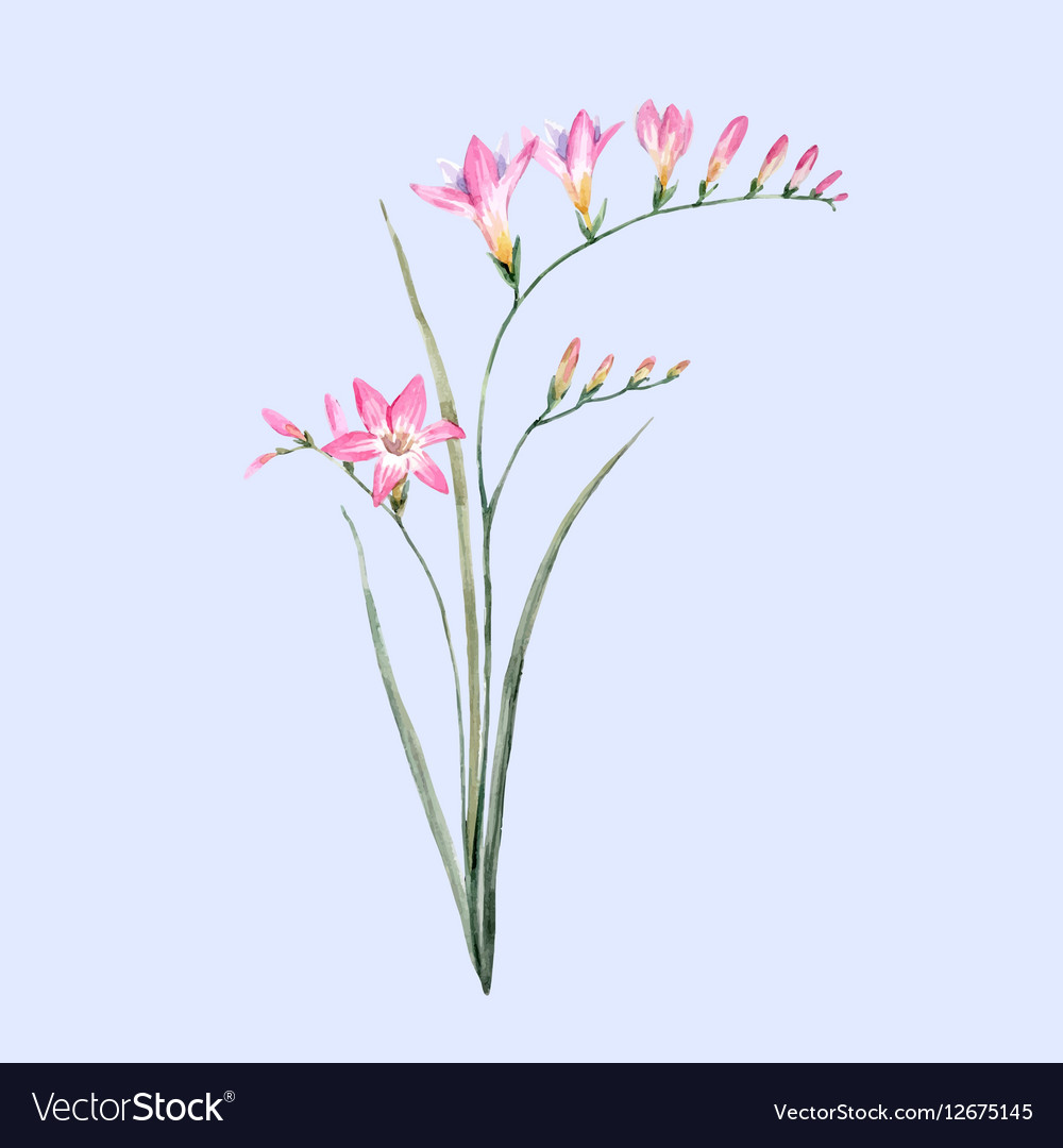Watercolor pink freesia flower royalty free vector image watercolor pink freesia flower vector image mightylinksfo