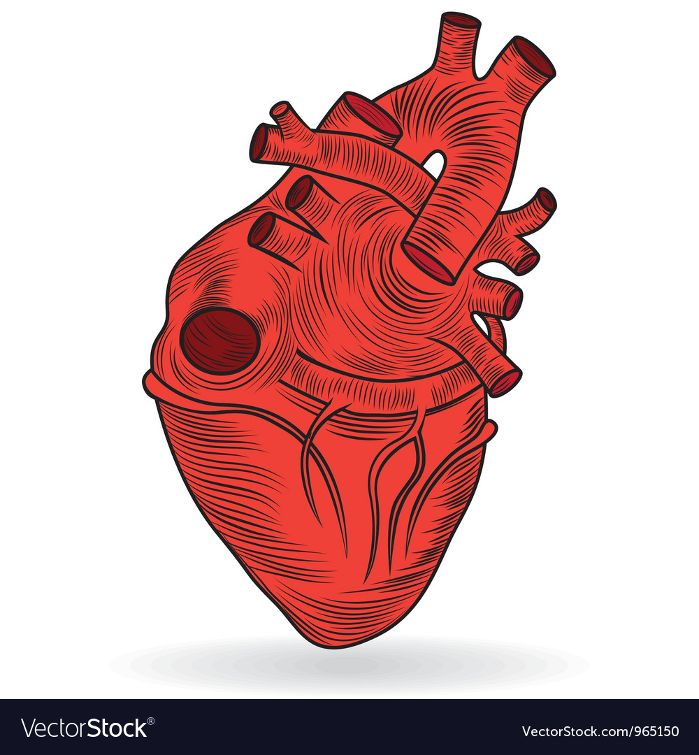 Heart human body anatomy sketch Royalty Free Vector Image
