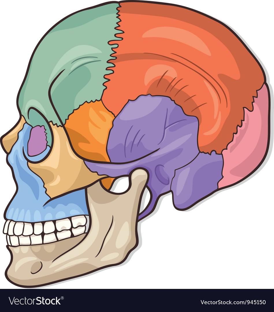 Human Skull Diagram vector image