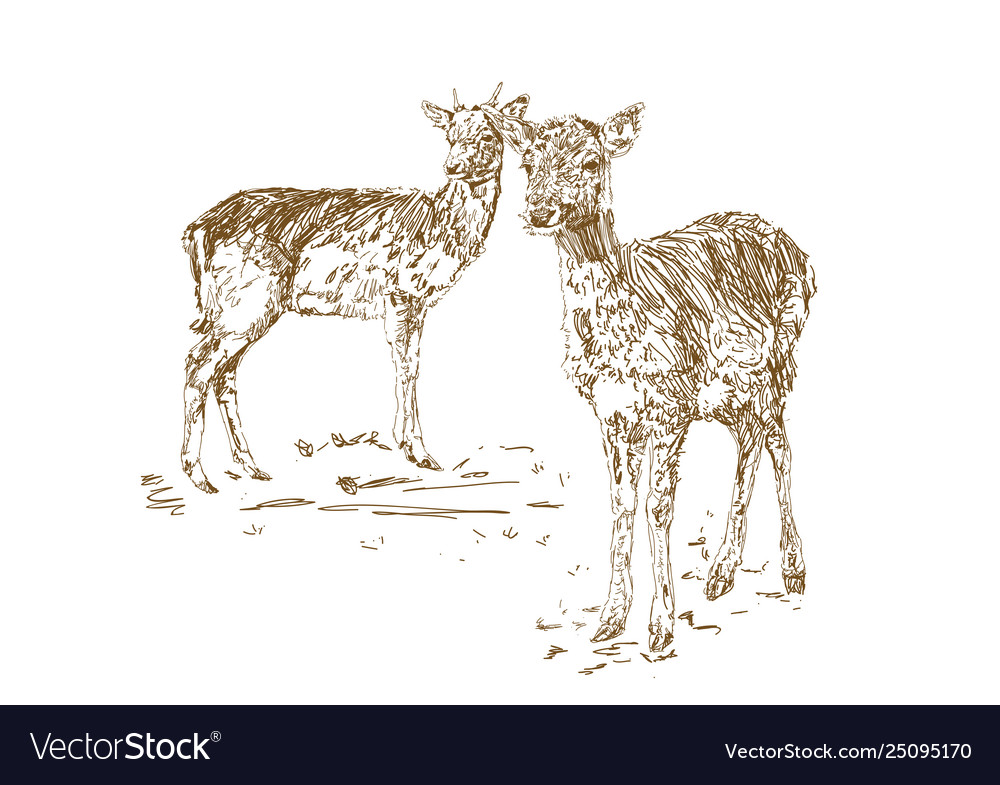 Two young deer in sketch style hand drawn