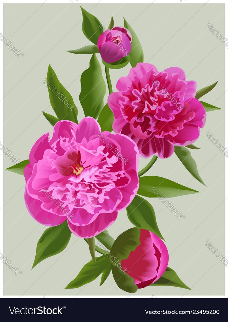 Realistic pink peonies flower