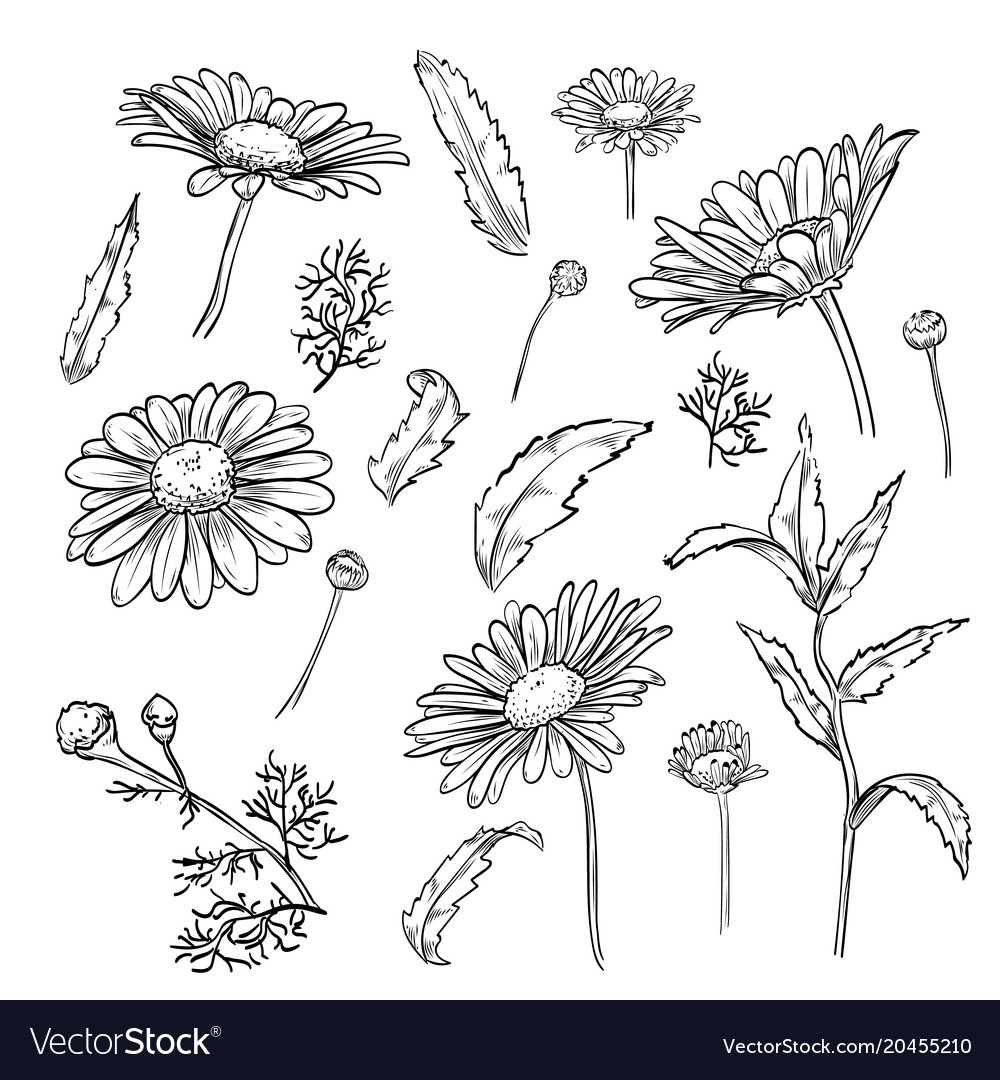 Hand drawn elegant chamomile flowers